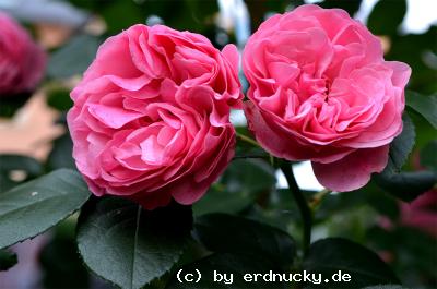 Foto: Romantica Rose Leonardo da Vinci