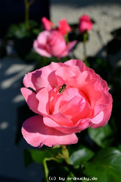 Foto: Floribunda - Rose Queen Elizabeth
