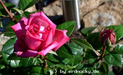 Foto: Edelrose Wedding Bells