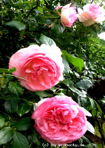 Foto: meine Rosen